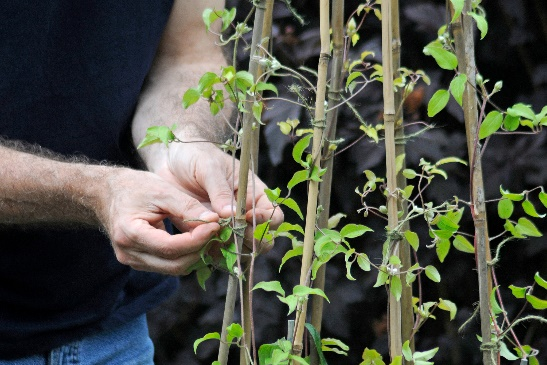 Tie Climbing Plants into Suppports